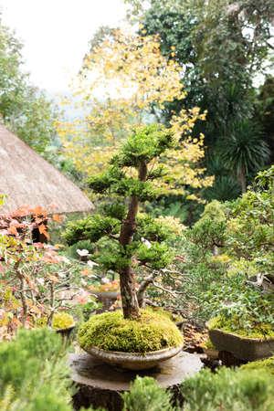 bonsai  plantation at Royal Agricultural Station Angkhang in Chiang Mai,Thailand. 免版税图像