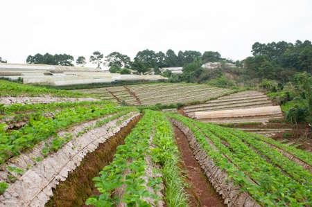 strawberry plantation at Royal Agricultural Station Angkhang in Chiang Mai,Thailand.