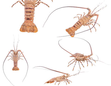 Set lobste isolated on white background with clipping path , dry-specimen animal marine. Stock Photo