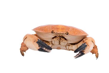 crab isolated on white background, dry - specimen animal of marina.