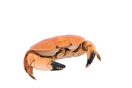 crab isolated on white background, dry-specimen animal of marina.