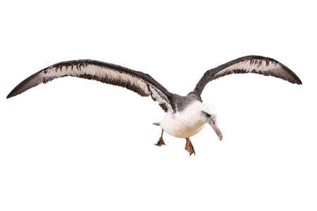 albatross bird isolated on white background.