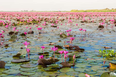 The sea of Red Lotus (Pink water lilies lake) - Beautiful Nature Landscape red Lotus sea in the morning with fog blurred background in the bright dayat Kumphawapi, Udonthani province, Thailand. Banco de Imagens