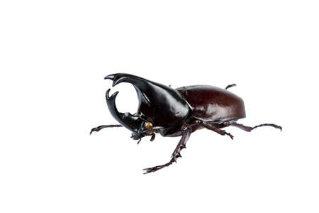 Rhinoceros beetle: beetle on white background with clipping path.