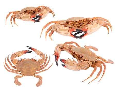 set of crab isolated on white background with clipping path , dry-specimen animal marine . Banco de Imagens