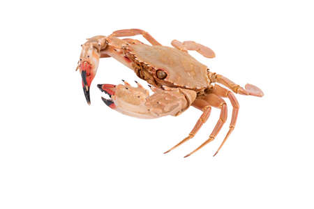 crab isolated on white background with clipping path , dry-specimen animal marine .