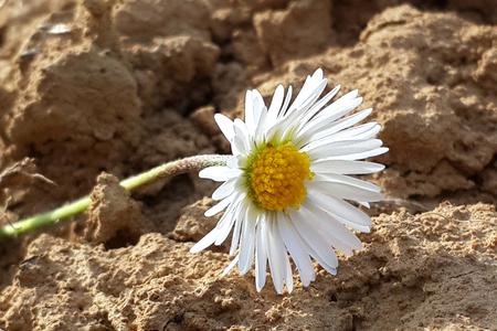 chamomile flower: Chamomile flower herb, natural, summer, blossom, nature,