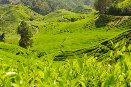 Tea plantation in the Cameron Highlands, Malaysia, Asia. photo