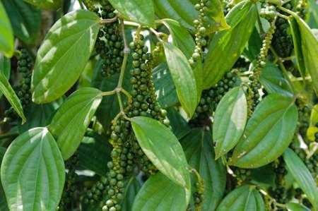 bush pepper: Fresh green pepper bush in Borneo, Malaysia. Stock Photo