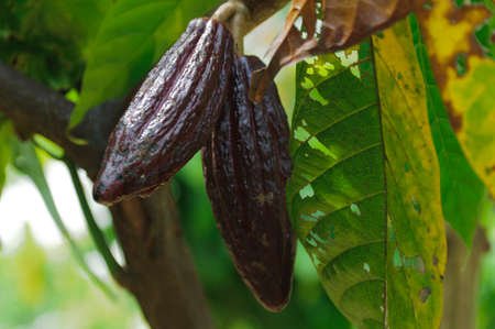 cocoa fruit: Ripe cocoa fruit on a tree.