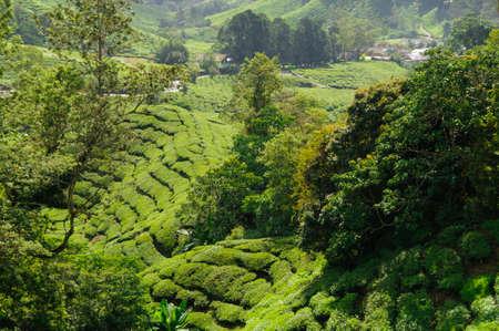 cameron highlands: Tea plantation in the Cameron Highlands, Malaysia, Asia. Stock Photo