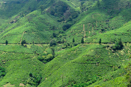 cameron highlands: Tea plantation in the Cameron Highlands, Malaysia, Asia. Stock Photo