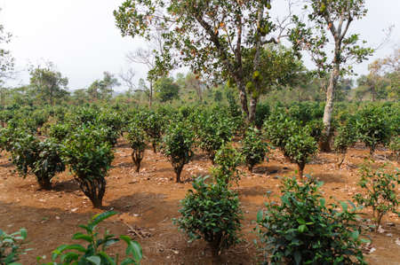 coffee coffee plant: Coffee plant with jackfruit tree of a coffee plantation in Lao.