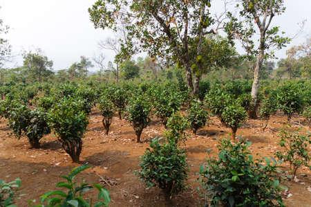 planta de cafe: Planta de caf� con el �rbol jaca de una plantaci�n de caf� en Lao.