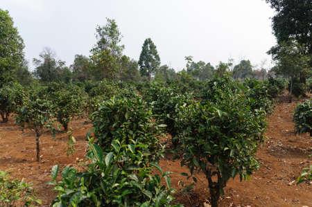 planta de cafe: Planta de caf� de una plantaci�n en Laos. Foto de archivo