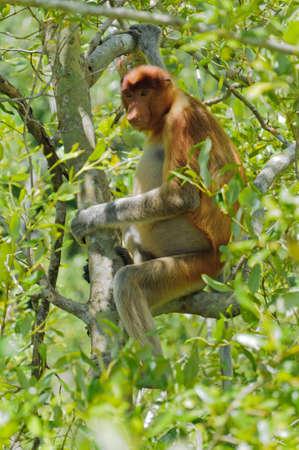 proboscis: Proboscis monkey of a mangrove tree from the island Borneo,Sarawak,Malaysia
