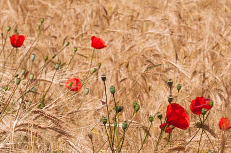Nature background of cornfield with poppies. photo