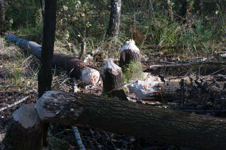 lumber industry: Fallen tree through a beaver. Stock Photo