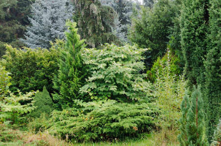 ornamental garden: Coniferous tree as backgrounds in the ornamental garden. Stock Photo