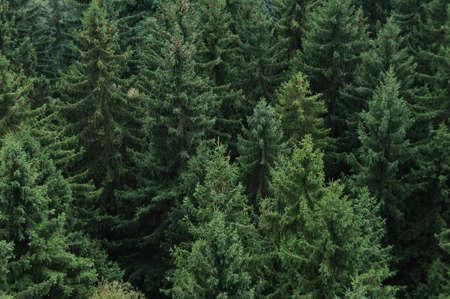 coniferous: Coniferous forest in Germany, Saxony.