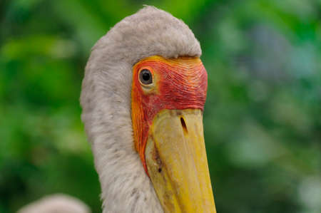 wade: Portrait from the yellow-billed stork