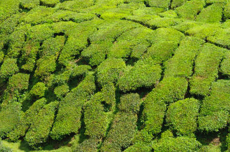 cameron highlands: Tea plantation in the Cameron Highlands,Malaysia,Asia. Stock Photo