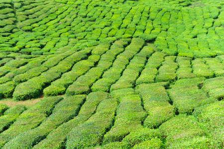 malaysia culture: Tea plantation in the Cameron Highlands,Malaysia,Asia. Stock Photo