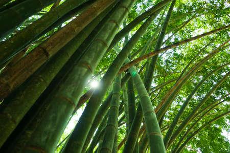 iluminado a contraluz: Fondo de la naturaleza, bosques de bambú verde iluminado por el sol. Foto de archivo
