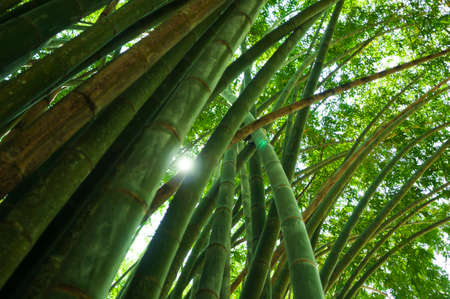 backlit: Nature background, green bamboo forest backlit by the sun.