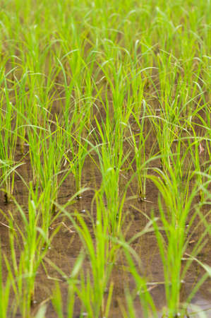food staple: Green rice field on the island of Luzon, Philippines.