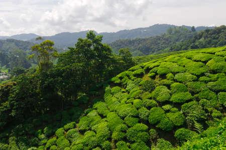 Tea plantation in the Cameron Highlands,Malaysia,Asia. Stock Photo