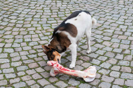 Mongrel dog eats at a too large bones.