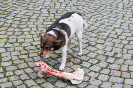 too: Mongrel dog eats at a too large bones.