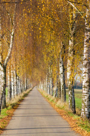footpath: Road with birches in Germany, in autumn in the golden sunlight.