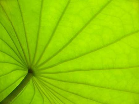 below: From down below a lotus leaf. Stock Photo