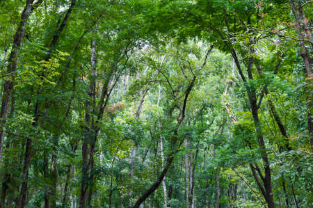 caoba: Mahogany forest on the island of Bohol, Philippines.