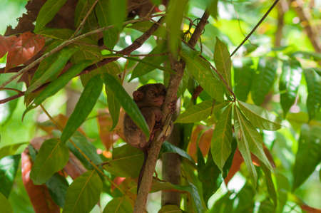 animal finger: Tarsier with snail on a tree on the island of Bohol, Philippines. Stock Photo