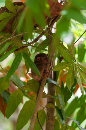 animal finger:  Tarsier with snail on a tree on the island of Bohol, Philippines.