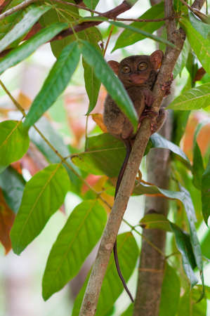 animal finger:  Tarsier on a tree on the island of Bohol, Philippines. Stock Photo