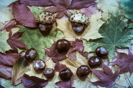 directly: Face of foliage and chestnuts photographed in directly above.