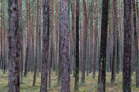 Temperate needleleaf forests, pine forest in Germany, Europe.