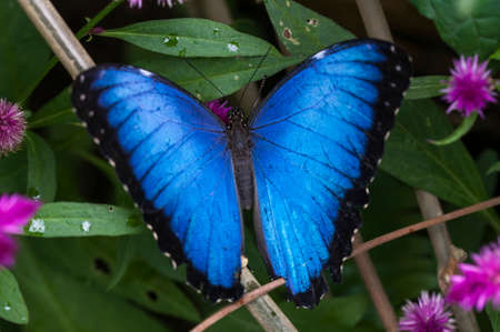 Blue Morpho, Morpho granadensis sitting on a leaf. 写真素材