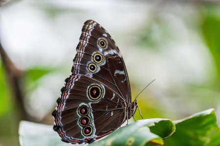 Blue Morpho, Morpho granadensis siedzi na liściu. Zdjęcie Seryjne