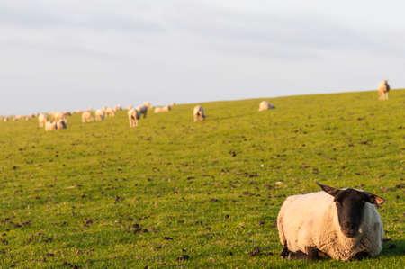 German North Sea region, sheeps on a dike.