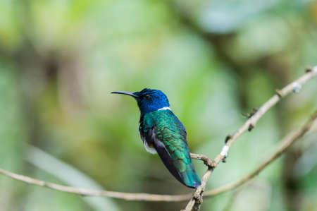 Colibrí azul (Trochilidae) se sienta en una rama, bosque nuboso, Ecuador. Foto de archivo