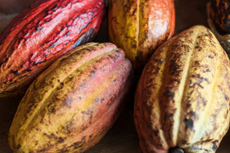 Ripe red and yellow cocoa fruits.