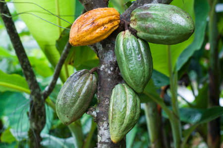 Cocoa tree (Theobroma cacao) with green and yellow fruits. Banque d'images