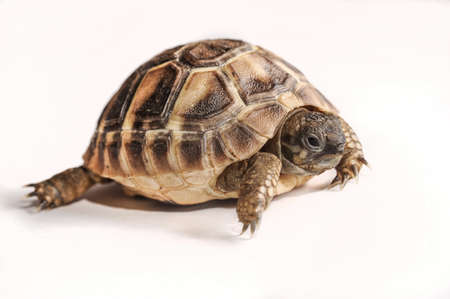 mini turtle Stock Photo - 18128515