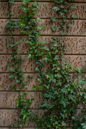 Tin Wall with Ivy