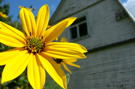 helianthus: Flower of Helianthus tuberosus on a background of the house Stock Photo